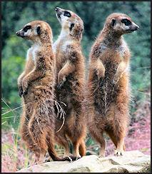 trends-leadership-development-meerkat-attention