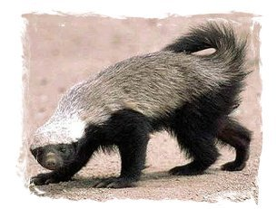 Honey badger don't care - honey badger is confident.